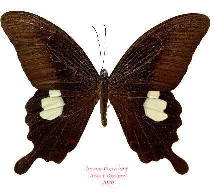 Papilio helenus (Malaysia)