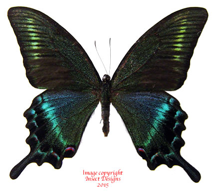 Papilio maackii menetries (Japan) A2