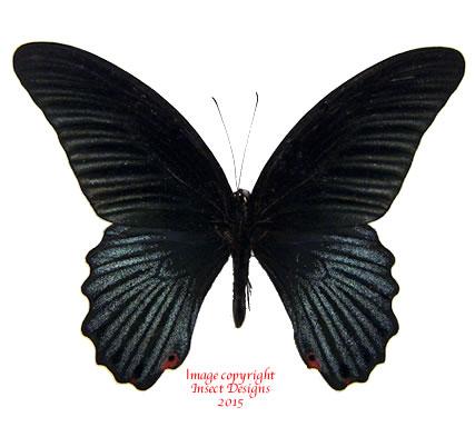 Papilio memnon (Malaysia) A2