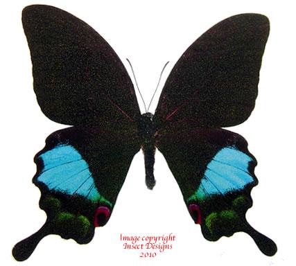 Achillides karna iruana (Philippines) A-