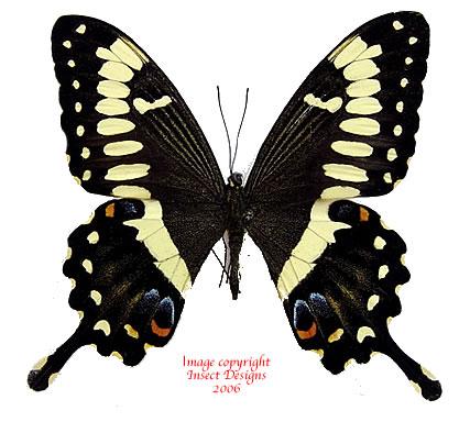 Papilio ophidicephalus (Tanzania) A2