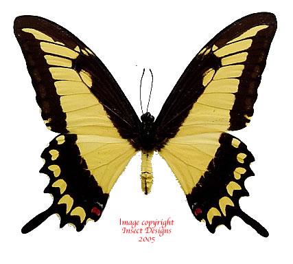 Papilio lycophron (Peru) A2