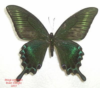 Papilio maackii maackii (China) A-