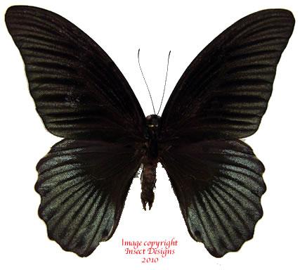 Papilio memnon memnon (Indonesia)