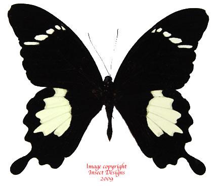 Papilio nephelus suntus (Malaysia)
