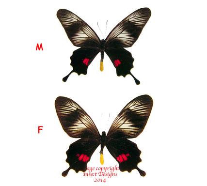 Papilio (Balignina) neptunus  (Philippines) A- and A2