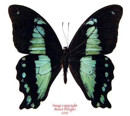 Papilio nireus (Tanzania) A1 and A2