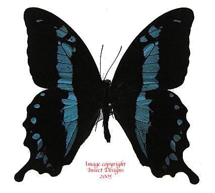 Papilio oribazus (Madagascar) A2
