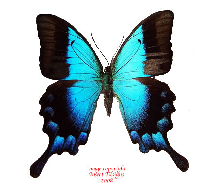 Papilio pericles (Timor) A-