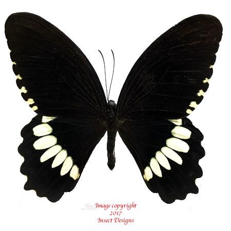 Papilio polytes (Ceram) A-
