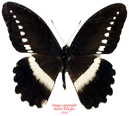 Papilio sjoestedti (Tanzania) A-
