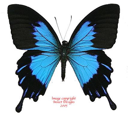 Papilio ulysses telegonus (Bachan)