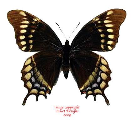 Papilio warswiczii (Peru)