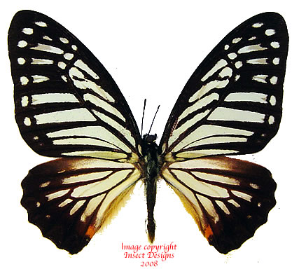 Paranticopsis xenocles lindos Thailand) A-