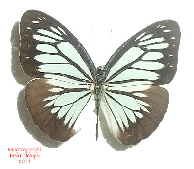 Pareronia boebera (Philippines)