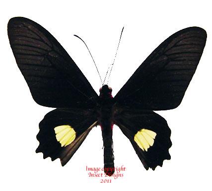 Parides quadratus (Peru)