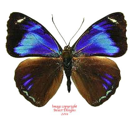 Perisama philinus (Peru) A-