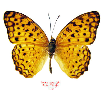 Phalantha phalanta (Philippines)