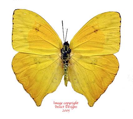 Phoebis rurina (Peru)