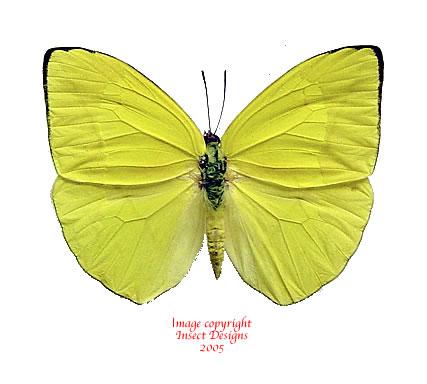 Phoebis trite (Peru)