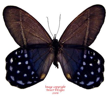Pierella lena (Peru)