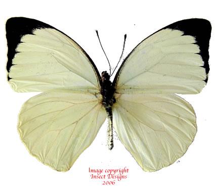 Pieris argia (Tanzania) A-