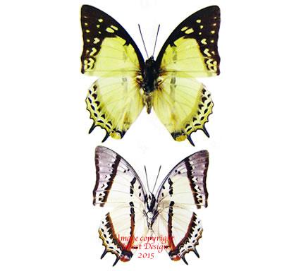 Polyura eudamippus nepenthes (Thailand) A2