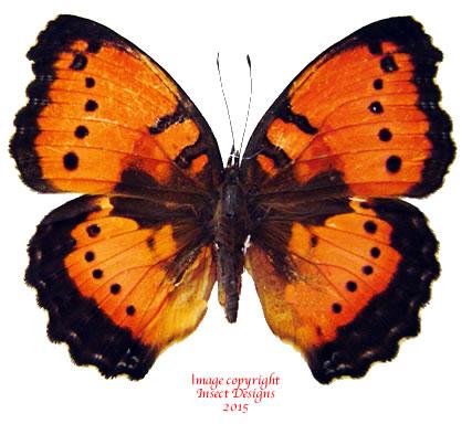 Precis octavia - red (Tanzania) A- and A2
