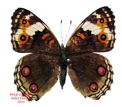 Precis orithya (Philippines) A2
