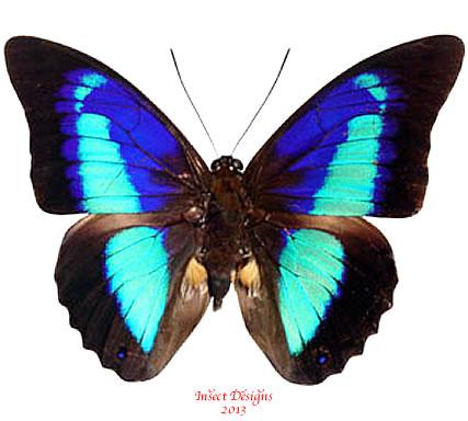 Prepona omphale (Peru)