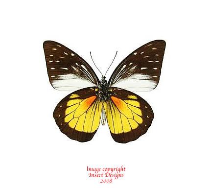Prioneris hypsipyle (Sumatra)