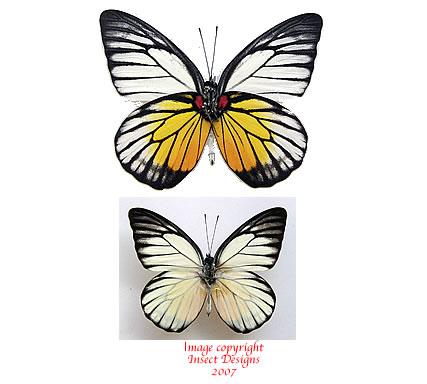 Prioneris philomone (Malaysia)
