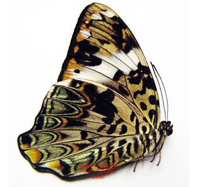 Prothoe francki plateni (Philippines) A2