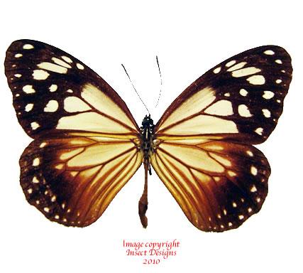Parantica sp. (Mindoro) A1-