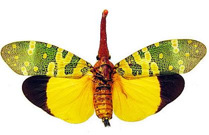 Pyrops candelaria fulgardis (Thailand) A2