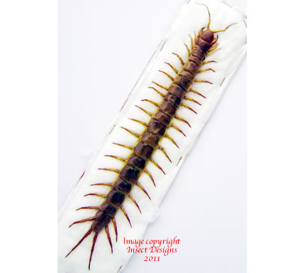 Scolopendra subspinipes (Thailand)