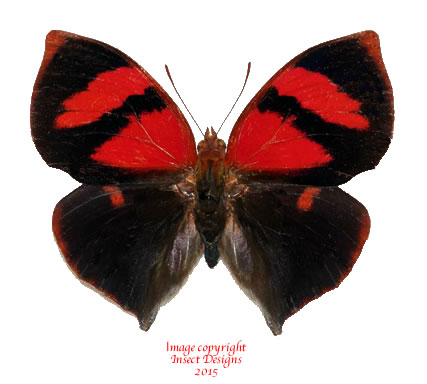 Siderone sp. f. nemesis (Peru)