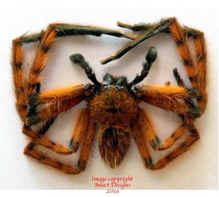 Spider sp.1 (Malaysia)