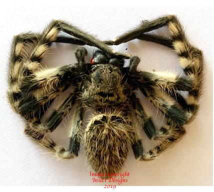 Spider sp.3 (Malaysia)