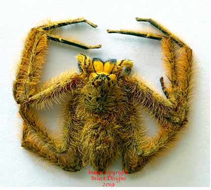 Spider sp5 (Malaysia)