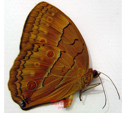 Stichophthalma neumongeni (Burma)