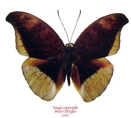Tanaecia cocytus ambrysus (Thailand) M: A2 F: A1-