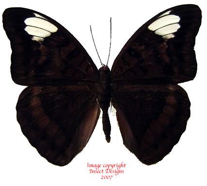 Tanaecia lupina (Philippines)