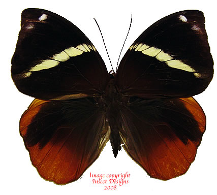 Thauria aliris pseudaliris (Malaysia)