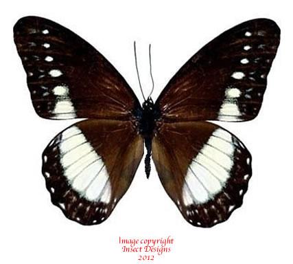 Zethera musides (Philippines) A-