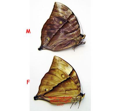 Zeuxidia boholina (Philippines)