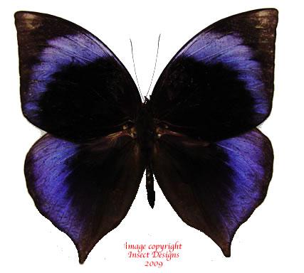 Zeuxidia doubledayi (Malaysia)