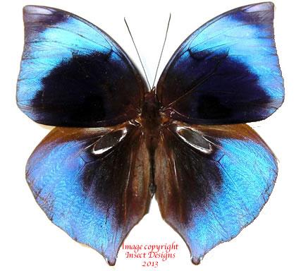 Zeuxidia sibulana medicieloi (Philippines)