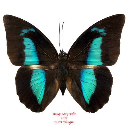 Prepona amphimachus (Colombia) A1 and A-