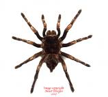 Acanthoscurria ferina (Peru) A2